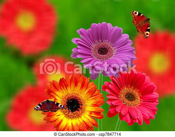 Flores de Gerber - csp7847714