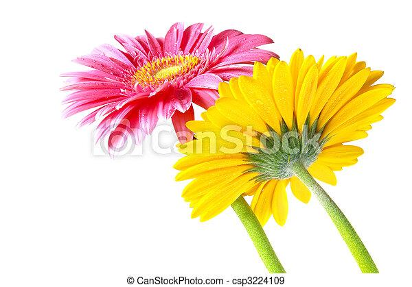 Flores Gerber - csp3224109