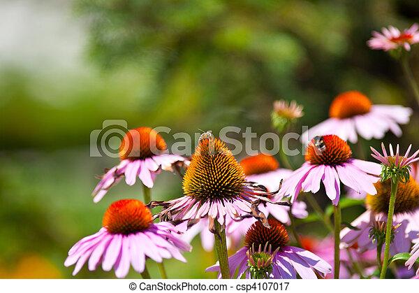 Flores Gerber - csp4107017