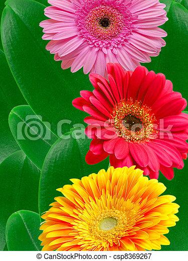 Flores Gerber - csp8369267