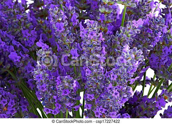 Flores Lavanda Flor Blanca Lavanda Plano De Fondo Aislado