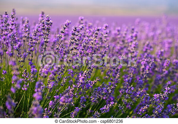 Purpura Campo Flores Lavanda
