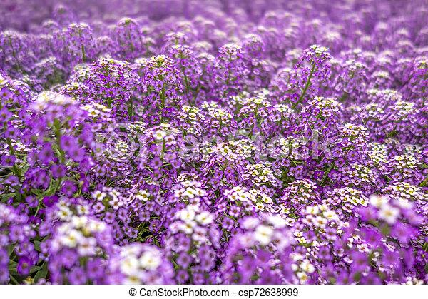 Flores de Violet - csp72638999