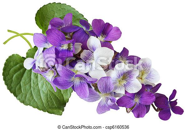 Flores de violeta - csp6160536