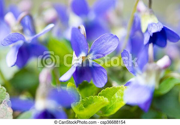 Flores de violetas - csp36688154