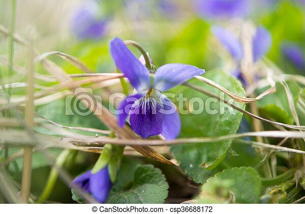 Flores de violetas - csp36688172