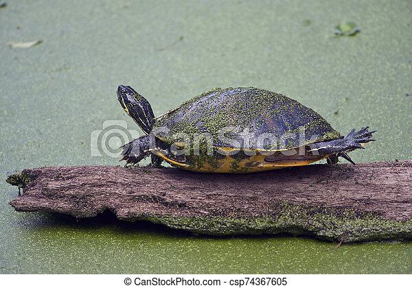 Florida Cooter on a log - csp74367605