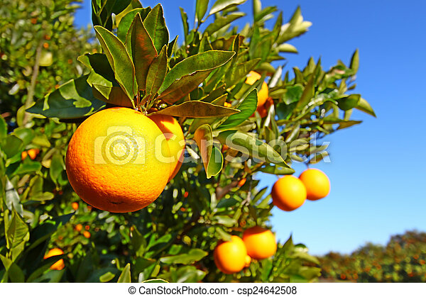 Florida Orange Groves Landscape - csp24642508