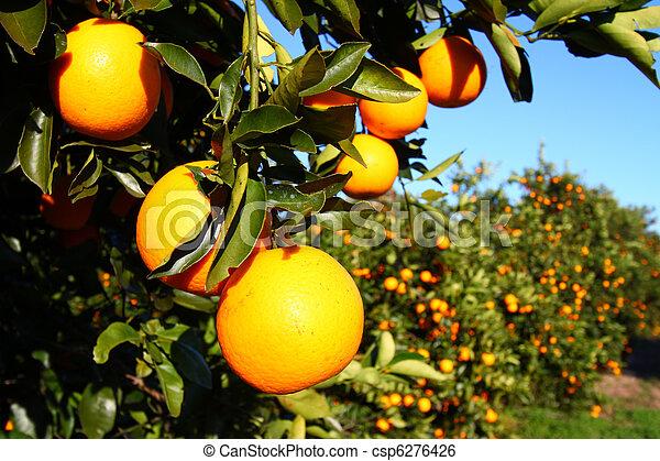 Florida Oranges - csp6276426