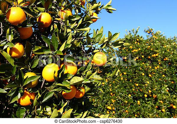 Florida Oranges - csp6276430