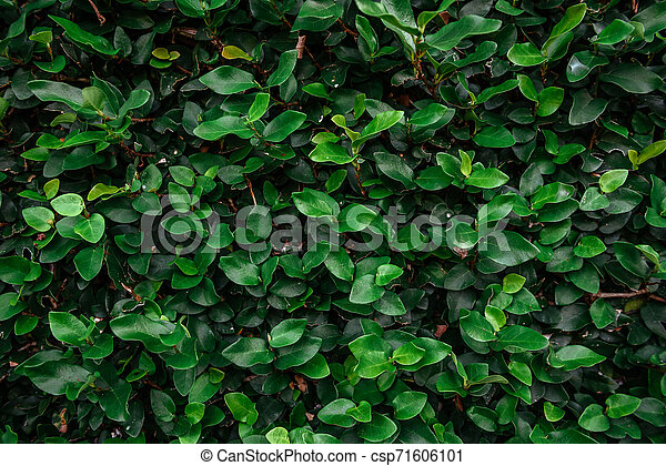 Floristic background. Green leaves on wall. - csp71606101