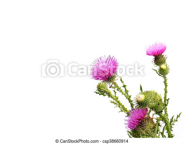 Flower and leaves isolated on white thistle flower and leaves with flower and leaves isolated on white csp38660914 mightylinksfo