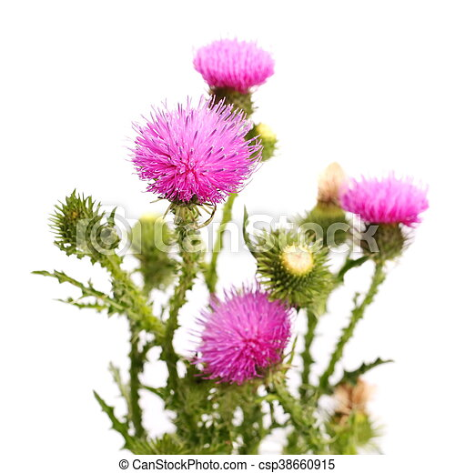 Flower and leaves isolated on white thistle flower and stock flower and leaves isolated on white csp38660915 mightylinksfo