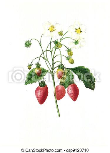 flower antique illustration fraisier - csp9120710