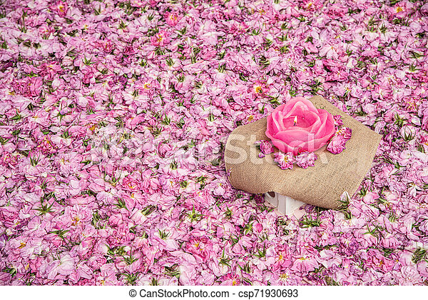 Flower bed of pink rose flowers - csp71930693