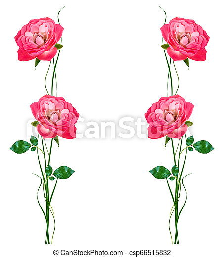 flower buds of roses isolated on white background - csp66515832