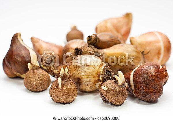 flower bulbs - csp2690380