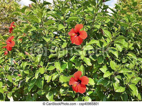 Flower Bushes Chinese Rose Hibiscus With Red Flowers Growing In