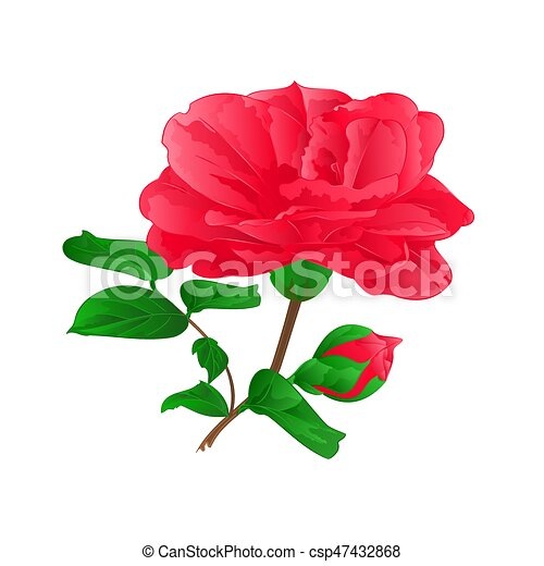 Flower Camellia Japonica With Buds Vintage Hand Draw Vector Eps