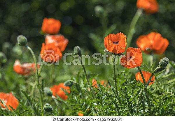 Flower decorative orange poppy on a flower bed in the city - csp57962064