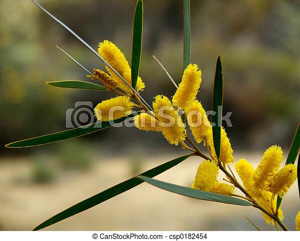 Flower Golden Wattle The Golden Wattle Is The Australian Floral