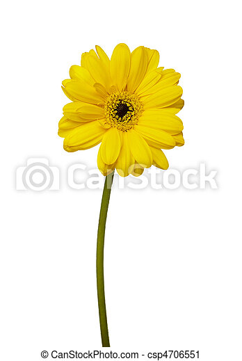 flower nature garden botany daisy bloom - csp4706551