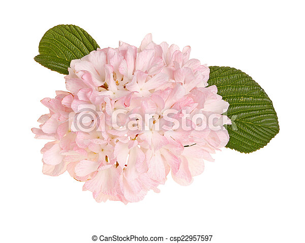 Flower of a snowball viburnum isolated against white flower flower of a snowball viburnum isolated against white csp22957597 mightylinksfo