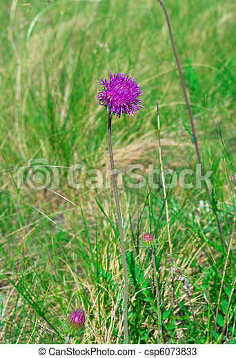 flower of a thistle against green grass - csp6073833