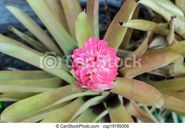 Flower of aechmea fasciatabromeliad pink flower flower of aechmea flower of aechmea fasciatabromeliad pink flower csp19189356 mightylinksfo