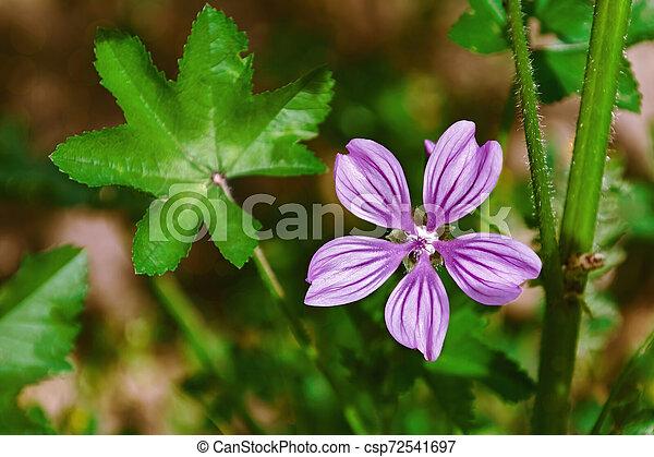 Flower of Common Mallow - csp72541697