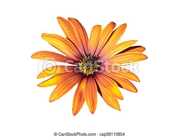 Flower of daisybush isolated on white background - csp58110854