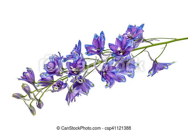 Flower of delphinium larkspur isolated on white background flower of delphinium larkspur isolated on white background csp41121388 mightylinksfo