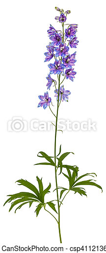 Flower of delphinium larkspur isolated on white background flower of delphinium larkspur isolated on white background csp41121360 mightylinksfo