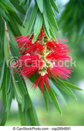 Flower of the Bottle Brush Tree - csp2894891