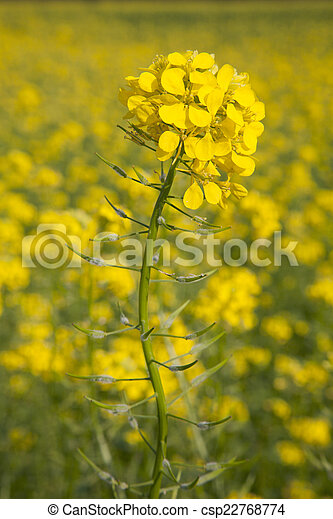 flower of yellow mustard seed in field - csp22768774