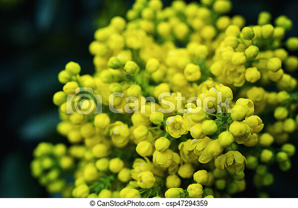 Flower oregon grapeflowering mahonia aquifolium oregon grape wild flower oregon grapeflowering mahonia aquifolium oregon grape wild flower holly leaves evergreen mightylinksfo