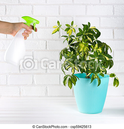 Flower schefflera in pot on white bricks wall background. Hand with spray, irrigation. - csp59425613