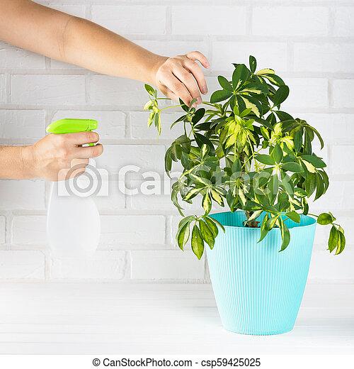 Flower schefflera in pot on white bricks wall background. Hand with spray, irrigation. - csp59425025
