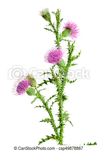 Flower thistle isolated on white background macro stock image flower thistle isolated on white background macro csp49878867 mightylinksfo