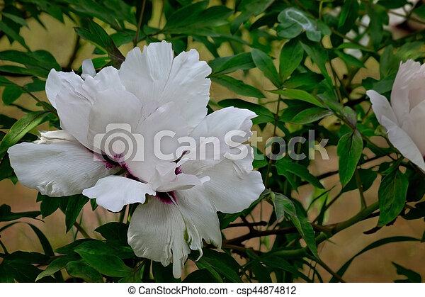 Bush with white flower tree peony closeup flower tree peony csp44874812 mightylinksfo