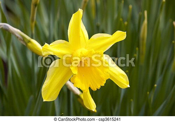 Flower Yellow daffodil - csp3615241