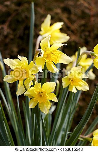 Flower Yellow daffodil - csp3615243