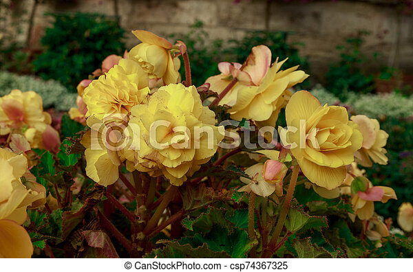 Flowerbed of bright yellow flowers. Colorful garden bed. - csp74367325