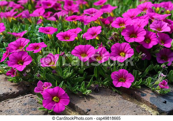 Flowerbed of Petunias in East Grinstead - csp49818665