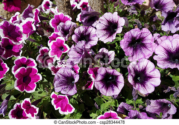 Flowerbed of Petunias in Porto Cervo - csp28344478