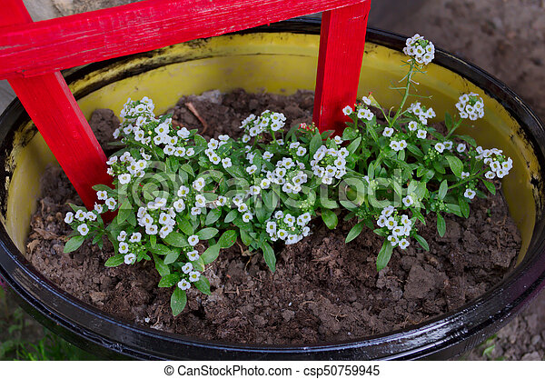 Flowerbed with small white flowers stock photo search photographs flowerbed with small white flowers csp50759945 mightylinksfo