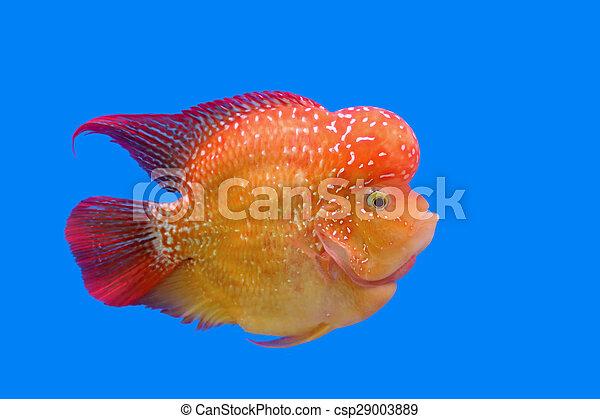 flowerhorn cichlid or cichlasoma fish in the aquarium pictures rh canstockphoto com Discus Fish Flowerhorn Fish Cute