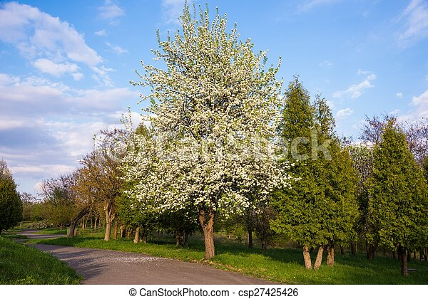 Flowering apple - csp27425426