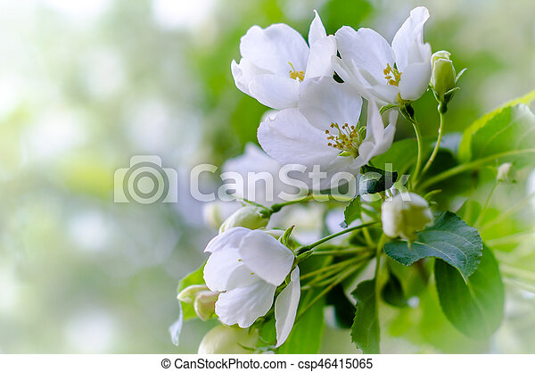 flowering apple tree branch with blurred background - csp46415065