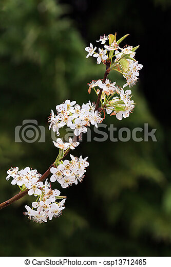 Flowering bradford pear limb an up swept limb of a bradford pear an up swept limb of a bradford pear tree is covered with white flowers in the spring mightylinksfo